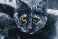 Cat yellow eyes azul Fotografía de archivo libre de regalías