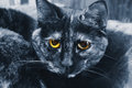 Cat yellow eyes bleue Photographie stock libre de droits