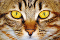 Cat yellow eyes closeup of beautiful brown face Royalty Free Stock Photos
