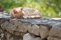 Cat yellow taking a catnap Stock Photos