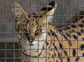 Cat young african serval feline looking through cage wire Stock Photo