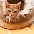 Cat young cute with red fur in its sleeping place Stock Images