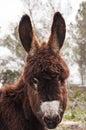 Catalonian donkey portrait of a catalan breeding in mallorca balearic islands spain Royalty Free Stock Image