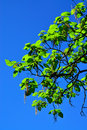 Catalpa ovata against the blue sky closeup Stock Photography