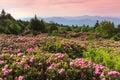 Catawba Rhododendron Roan Moun...