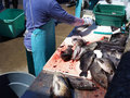 Daily catch on filleting table Royalty Free Stock Photo