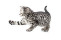Catching british gray kitten with paw up isolated Royalty Free Stock Images
