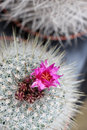 Catcus in bloom detail of a cactus others cactus blurred the background portrait cut Royalty Free Stock Images