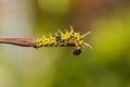 Catepillar of lime butterfly papilio demoleus on white Stock Photo