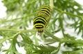 Caterpillar. Royalty Free Stock Photo