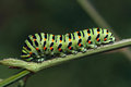 Caterpillar butterfly papilio machaon macrophoto Stock Photography