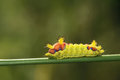 Caterpillar the close up of a beautiful on grass stem scientific name cnidocampa flavescens Royalty Free Stock Photo