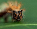Caterpillar of comma - Polygonia c-album Royalty Free Stock Photo