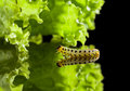 Caterpillar crawling to leaf macro of pest moving lettuce on reflective plate Royalty Free Stock Photos