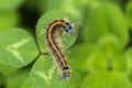 The caterpillar generally refers to lepidoptera moth and butterfly insect larvae for slow no wings survival is a war Stock Photos