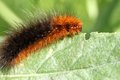 Caterpillar on a green leaf Royalty Free Stock Photography