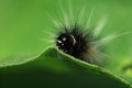 Caterpillar on a green leaf. Royalty Free Stock Photo