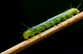 Caterpillar, green worm Royalty Free Stock Photo