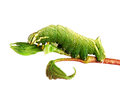 Caterpillar of the Kentish Glory Stock Photography