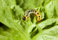 Caterpillar on lettuce leaf background macro of agriculture pest fresh Royalty Free Stock Photos
