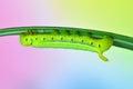 Caterpillar Oleander Hawk-moth und Royalty Free Stock Image