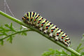 Caterpillar papilio machaon linnaeus the old world swallowtail is a butterfly of the family papilionidae Stock Photos