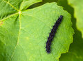 Caterpillar of a peacok butterfy. Royalty Free Stock Photo