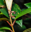 Caterpillar of silk moth bombycidae hanging on host plant Royalty Free Stock Photos