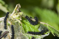 Caterpillar of Small Tortoiseshell Royalty Free Stock Photos