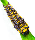 Caterpillar a yellow and brown on a green branch Stock Photos