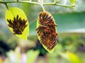 Caterpillars eating leaves of orange tree covered by pest caribbean bocas del toro panama Royalty Free Stock Photos