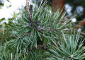 Caterpillars infest on pine branch pests destroy needles Stock Image