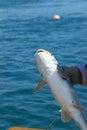 Catfish Royalty Free Stock Photo