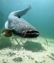 The Catfish (Silurus Glanis). Stock Photography
