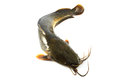 Catfish a with white background Stock Photo