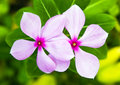 Catharanthus roseus flower with green leaf Stock Image
