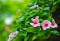 Catharanthus roseus g don madagascar periwinkle vinca old maid cayenne jasmine rose periwinkle Stock Photo