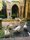 Cathedral in barcelona geese inside of the of catalonia spain Royalty Free Stock Image