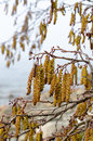 Catkins on an alder tree in spring a close up Stock Images