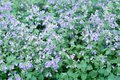 Catmint garden in summer very beautiful Royalty Free Stock Photo