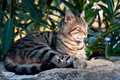 Catnap tabby cat taking a nap on a rock relaxing Royalty Free Stock Photography