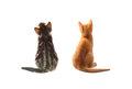 Cats behind two kitten from isolated over white Stock Images
