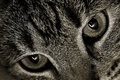 Cats Eyes Royalty Free Stock Photos