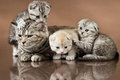 Cats family group of three kitten with mother breed scottish fold lie on brown background Royalty Free Stock Photo