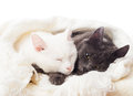 Cats lying on a white veil Royalty Free Stock Photography