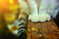 Cats paws and tail on wooden country porch Royalty Free Stock Photo