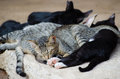 Cats sleep close up head on the ground Royalty Free Stock Photo