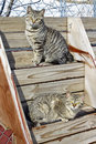 Cats on steps a vertical picture of two striped wild farmcats sitting with one looking very wide eyed Royalty Free Stock Image