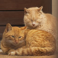 Cats two ginger resting together on the doorstep Royalty Free Stock Image