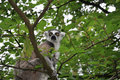 Catta monkey in tree Stock Image